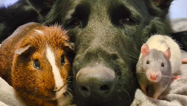 Owczarek i szczur - Sputnik Polska