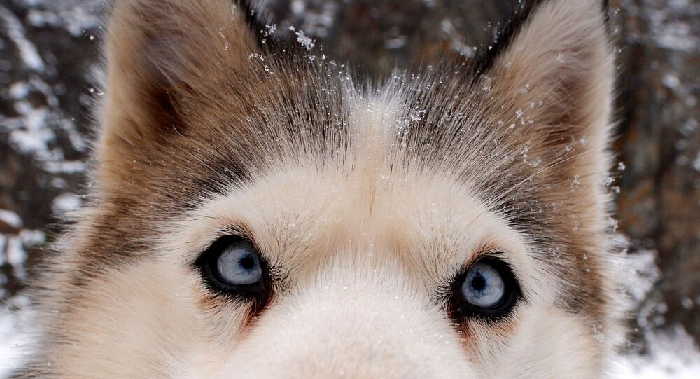 Syberyjski husky
