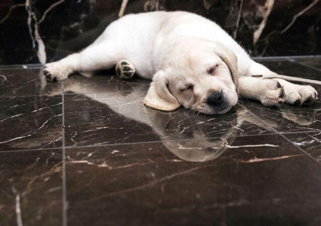 Śpiący szczeniak rasy golden retriever