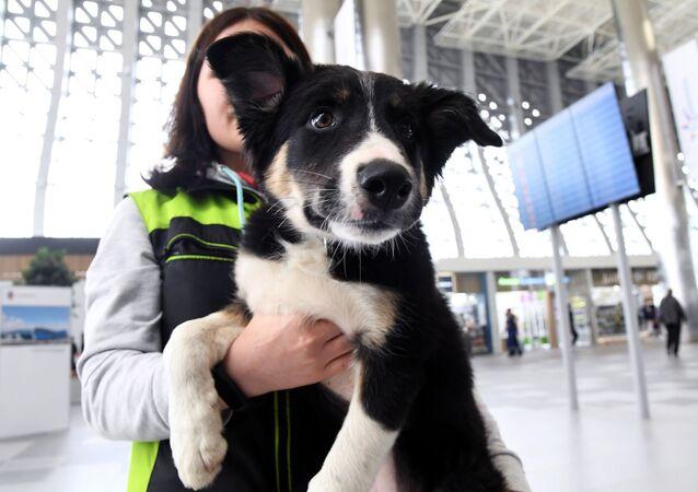 Maskotka lotniska w Symferopolu border collie Alisa