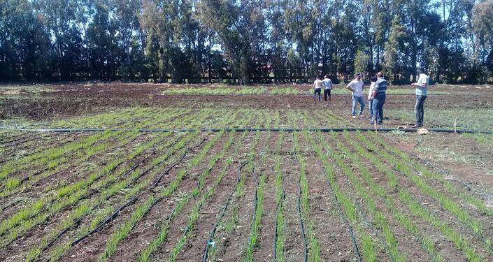 Plantacja ryżu w Syrii