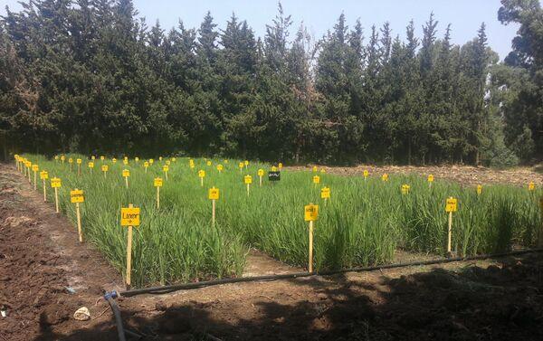 Plantacja ryżu w Syrii - Sputnik Polska