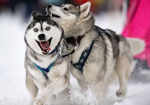 Psy zaprzęgowe