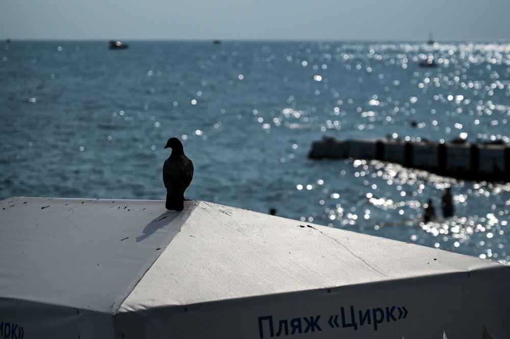 Gołąb na plaży w Soczi