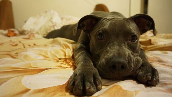Pies odpoczywa na kanapie - Sputnik Polska