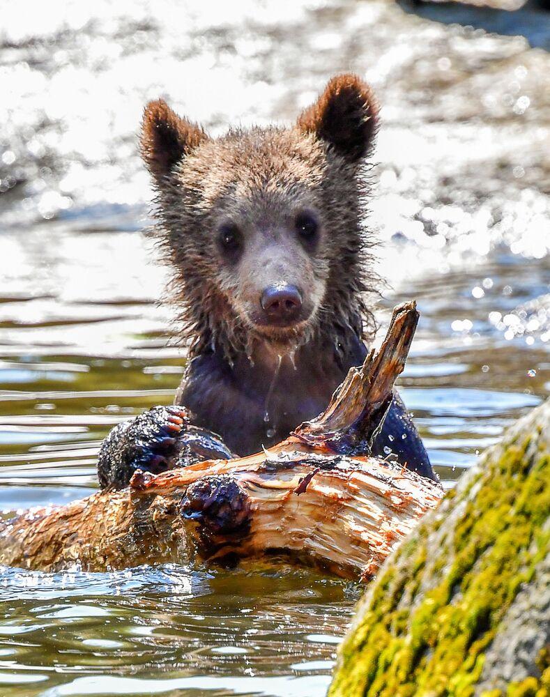 Mały niedźwiedź z Zoo Skansen w Sztokholmie