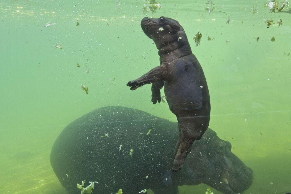 Mały hipopotam w zoo Beauval we Francji