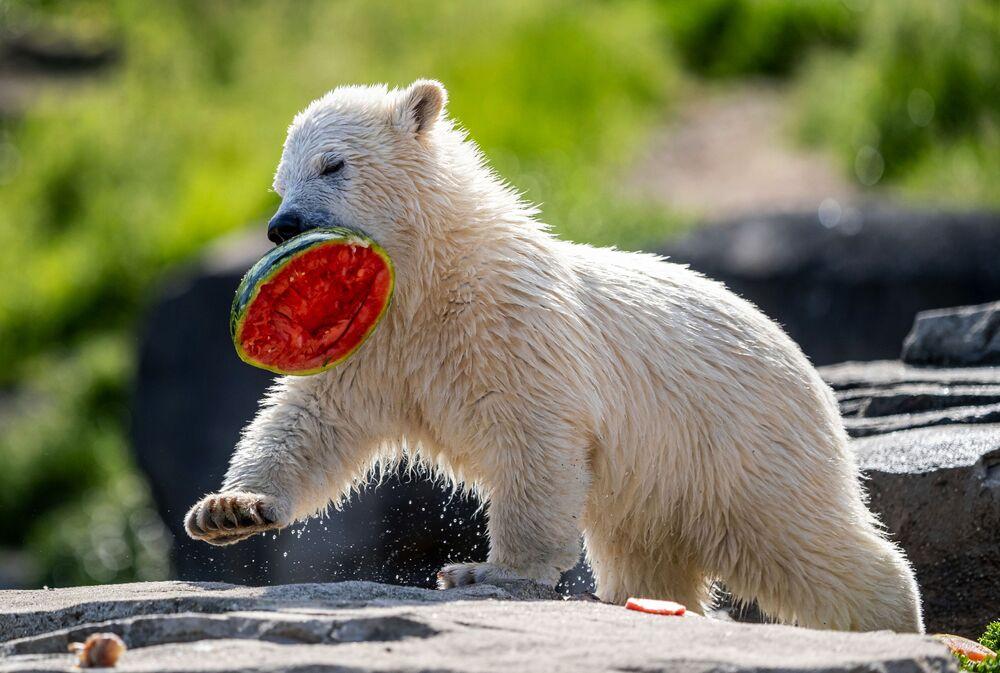 Mały biały niedźwiedź z arbuzem. Hanower, Niemcy