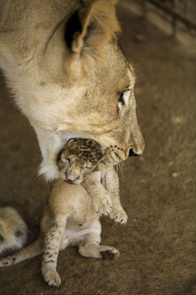 Lwica i jej młody w Kuku Zoo w Sudanie