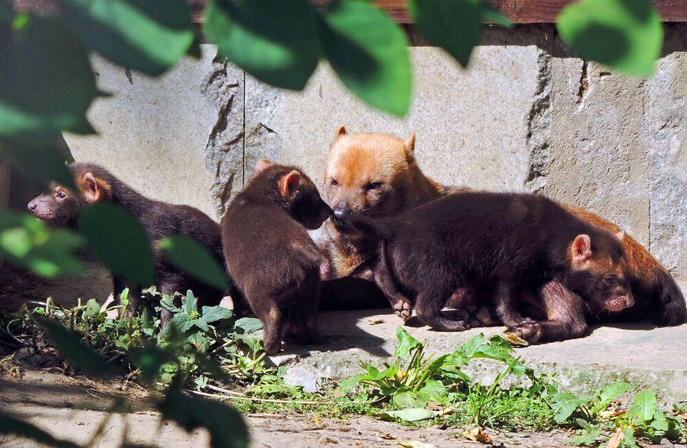 Samica pakożera leśnego i jej szczenięta w moskiewskim zoo