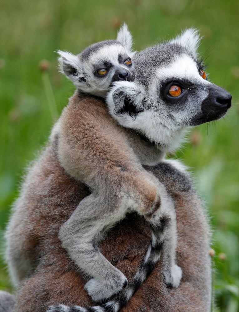 Lemury w Parku Zoologicznym w Paryżu