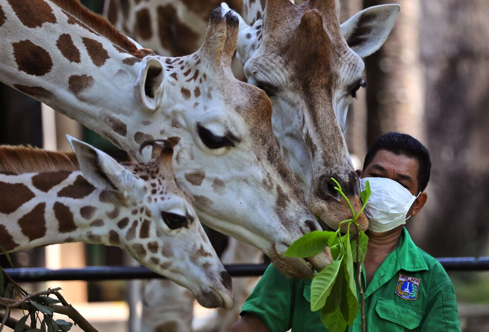 Żyrafy w Ragunan Zoo w Indonezji
