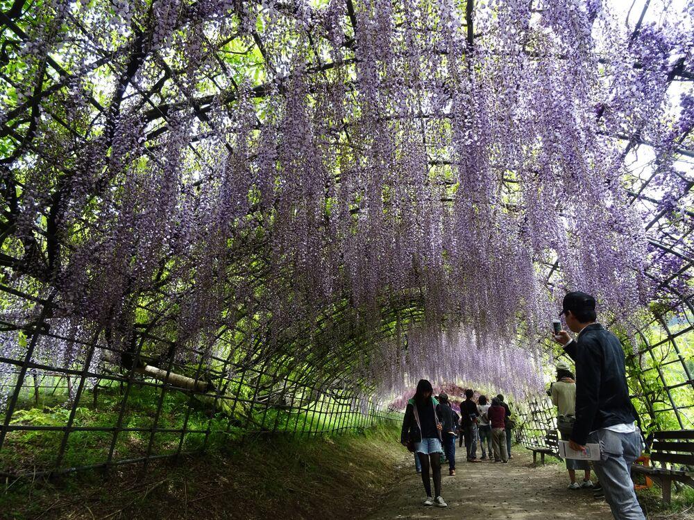 Ogród glicynii w Japonii