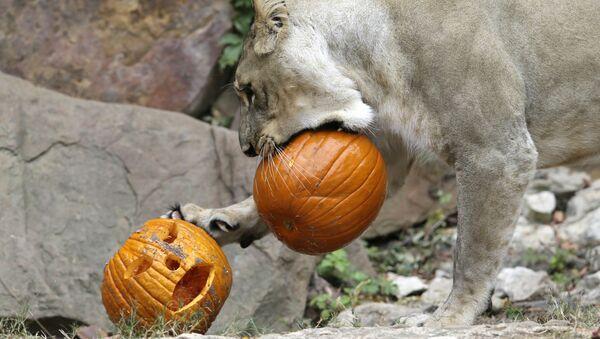 Lew gra z świątecznymi dyniami w zoo w Teksasie na Halloween - Sputnik Polska