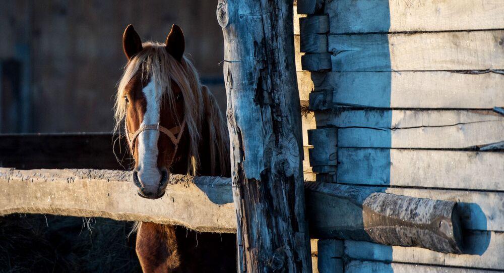 Koń w miejscowości Bobrowka w obwodzie omskim