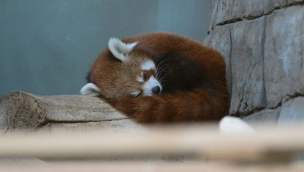 Samiec czerwonej pandy w Moskiewskim ZOO - Sputnik Polska