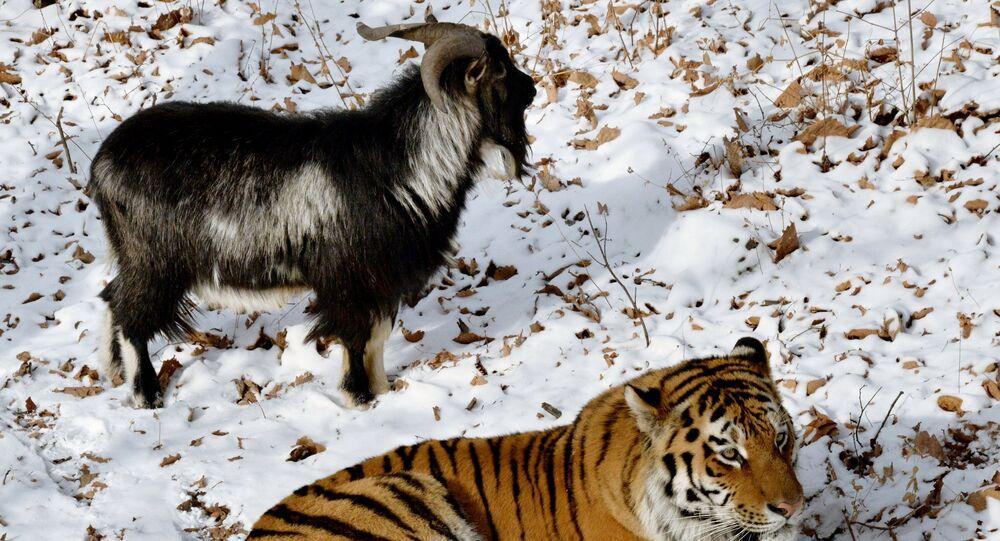 Przyjaźń tygrysa i kozła