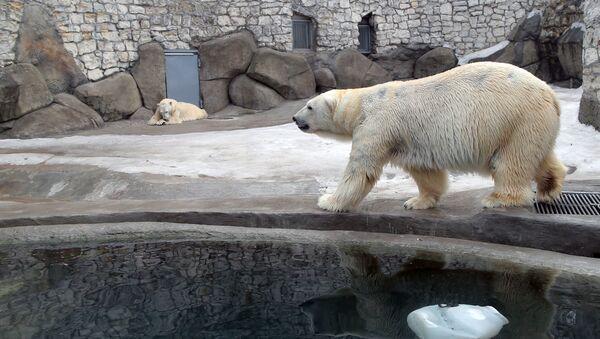 Niedźwiedzie polarne w wolierze moskiewskiego ogrodu zoologicznego - Sputnik Polska