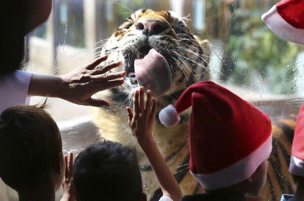 Tygrys bengalski w ogrodzie zoologicznym w Malabonie, Filipiny - Sputnik Polska