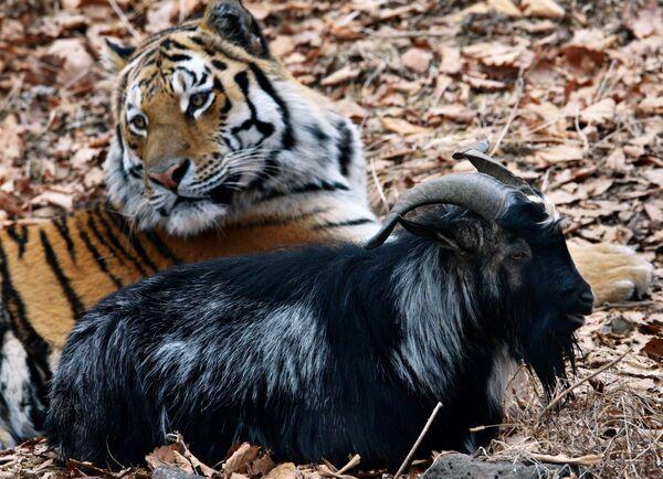 Tygrys syberyjski o imieniu Amur i kozioł Timur w wolierze parku safari w Kraju Nadmorskim. Przez cały rok tygrysy karmione są żywymi zwierzętami, ale kozła Timura tygrys Amur jednak nie zjadł. - Sputnik Polska