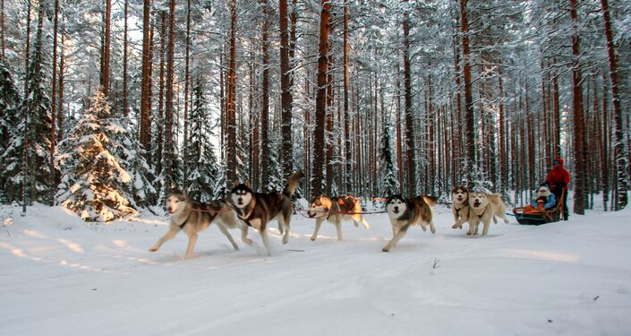 Jazda turystów na psim zaprzęgu na terenie kompleksu turystycznego Karjala Park