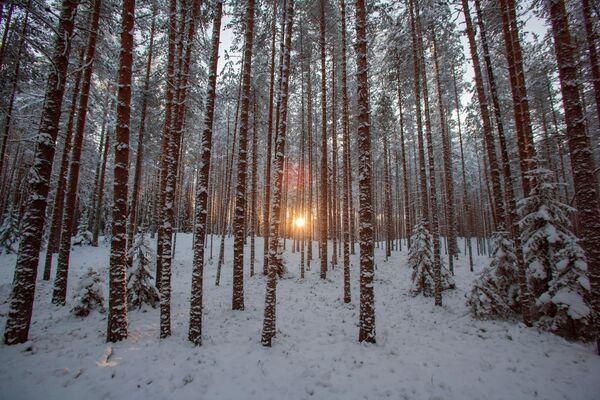 Zimowy las na terenie kompleksu turystycznego Karjala Park, Karelia - Sputnik Polska