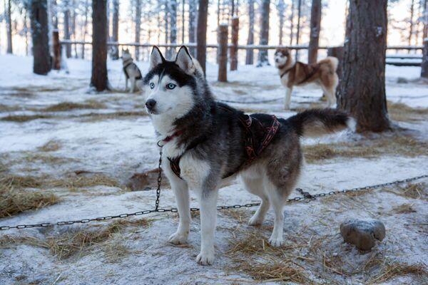 Psy rasy siberyjski husky na terenie kompleksu turystycznego Karjala Park w Karelii - Sputnik Polska