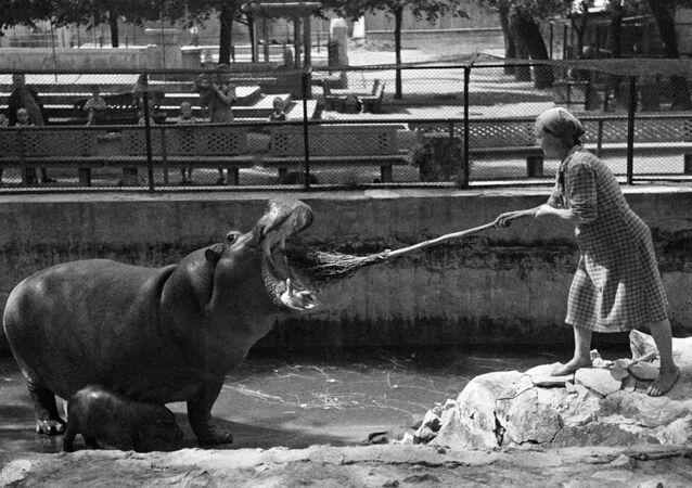 Pracowniczka z hipopotamem w Moskiewskim zoo