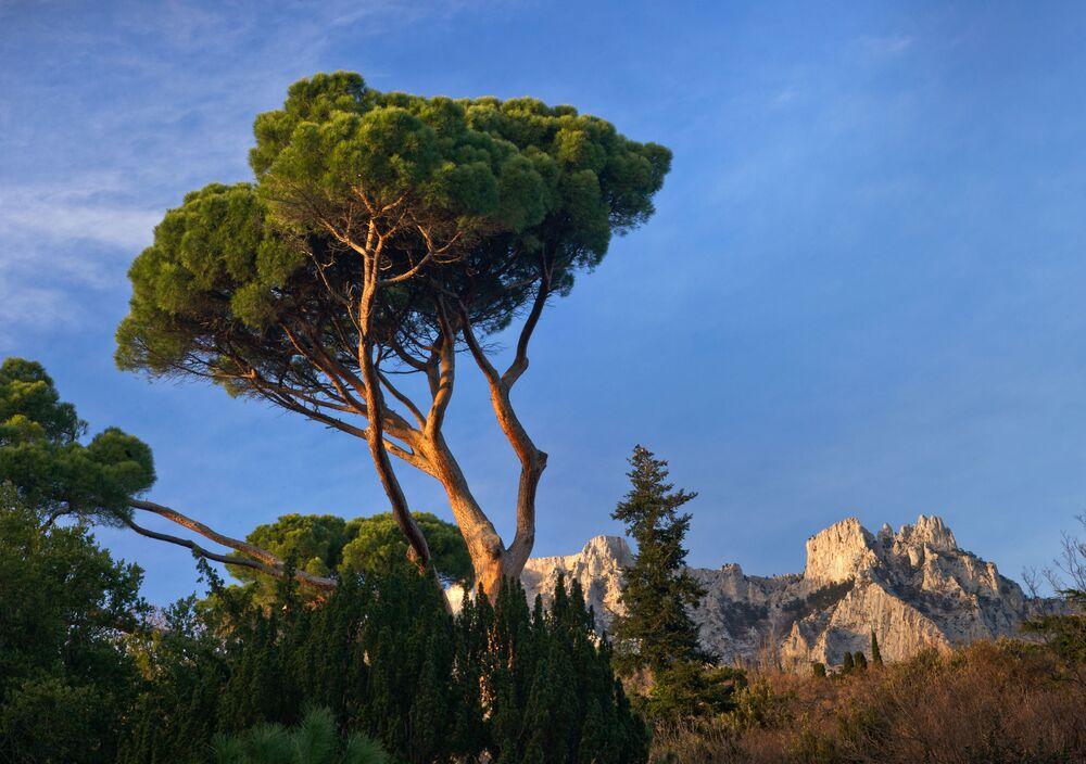 Włoska sosna w Ałupkińskim parku przy pałacu Woroncowa niedaleko góry Aj-Petri na Krymie