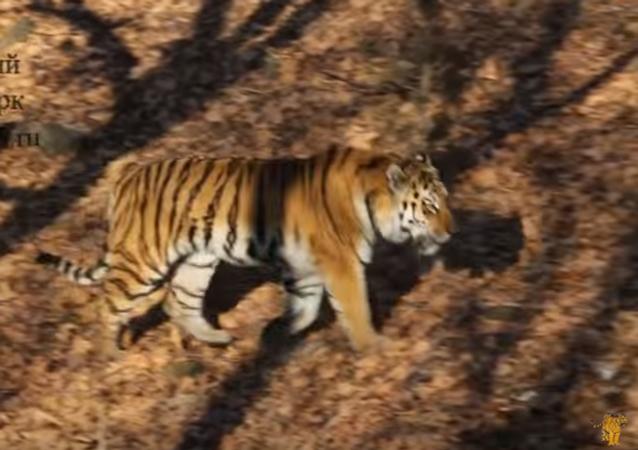 Tygrys Amur dał kozłowi Timurowi policzek
