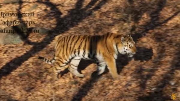 Tygrys Amur dał kozłowi Timurowi policzek - Sputnik Polska