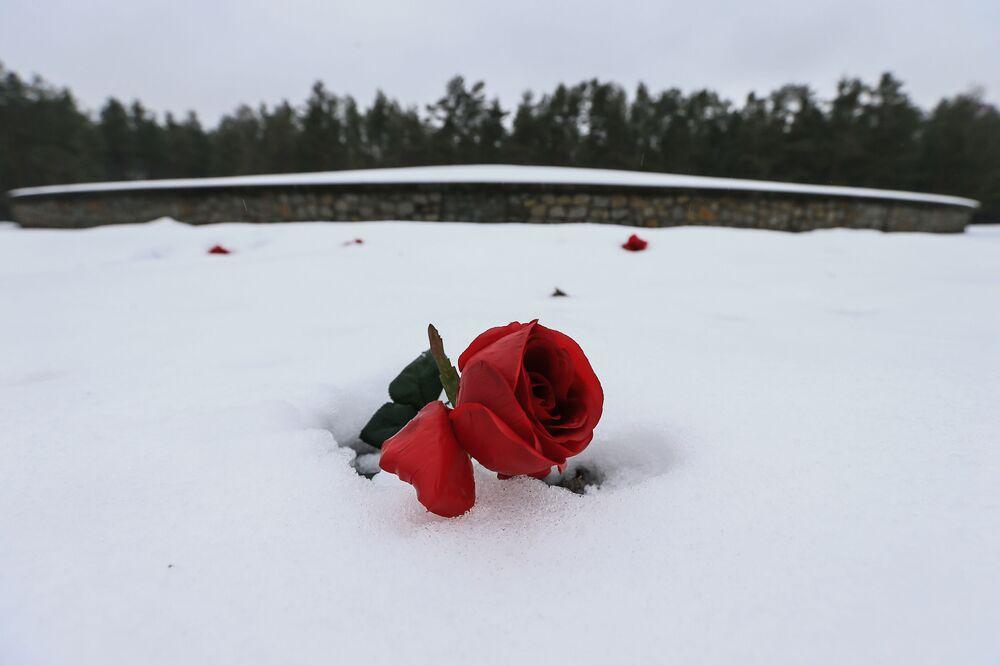 Różowa róża przy Kopcu w Muzeum Obozu Zagłady Sobibór w Polsce