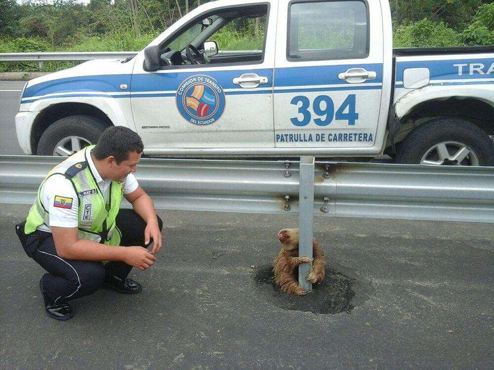 Policjant patrzy na leniwcowatego na drodze w Ekwadorze