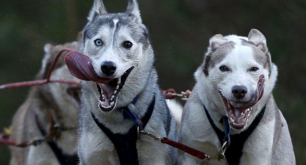 Psy podczas Aviemore Sled Dog Rally w Szkocji