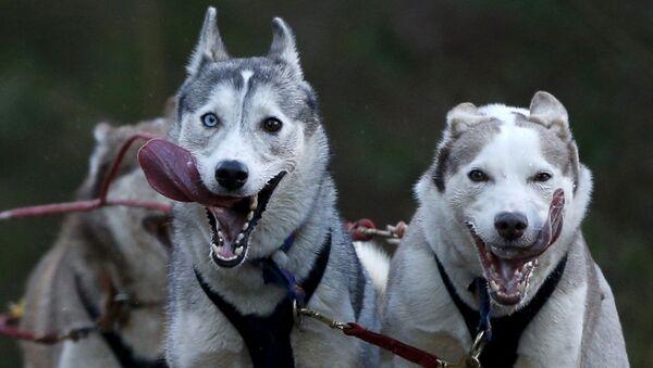 Psy podczas Aviemore Sled Dog Rally w Szkocji - Sputnik Polska