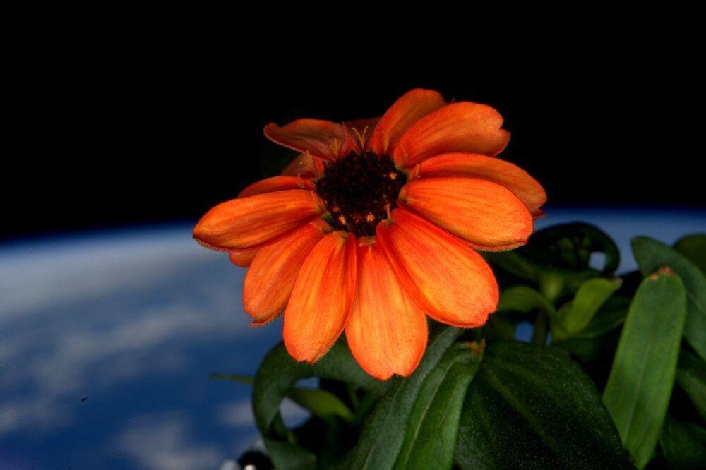 Kwiatek Cynii, wychowany na pokładzie Międzynarodowej stacji kosmicznej
