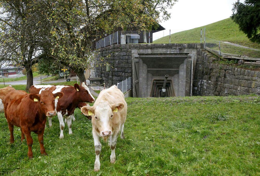 Krowy w pobliżu jednego z bunkrów w Faulensee