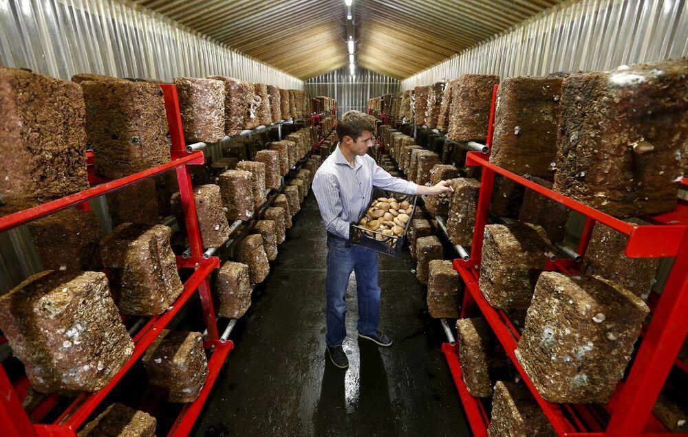 Uprawa grzybów shiitake w dawnym magazynie amunicji w pobliżu miasta Erstfeld