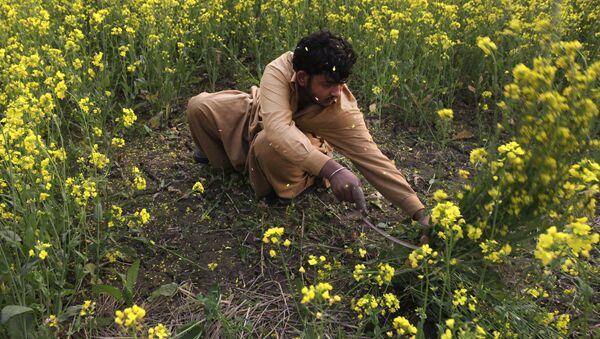 Mężczyzna zbiera gorczycę w miejscowości Lahore, Pakistan - Sputnik Polska