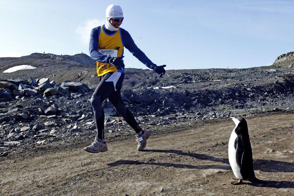 Uczestnik maratonu na Antarktydzie podczas spotkania z pingwinem