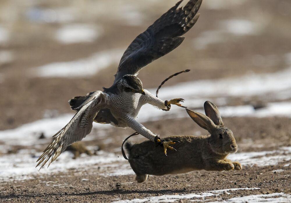 Berkut atakuje zająca podczas tradycyjnych zawodów myśliwskich w miejscowości Nura w Kazachstanie
