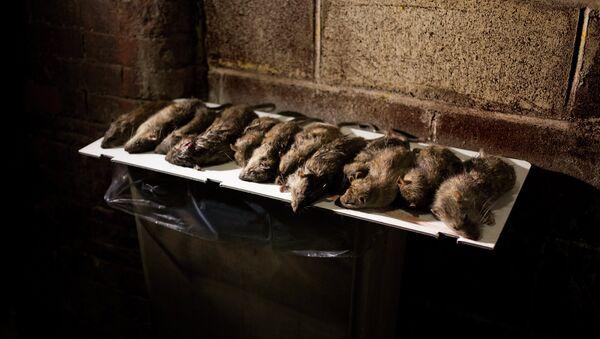 Szczury - Sputnik Polska