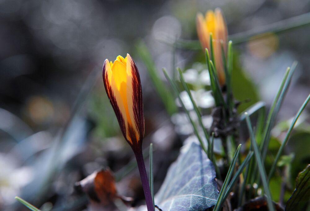 Kwitnący szafran, miejscowość Aj-Danil
