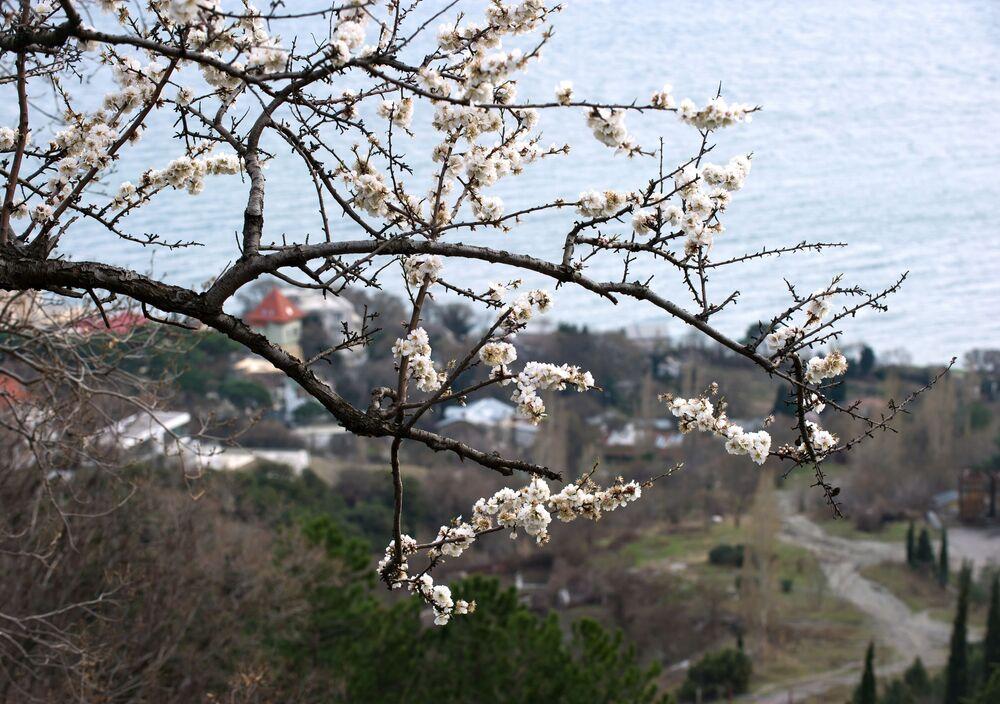 Kwitnące drzewo, Ałupka