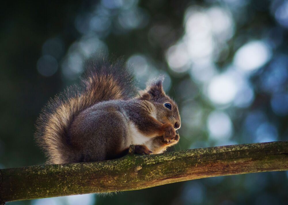 Wiewiórka w miejskim parku Sosnowka, Petersburg, Rosja