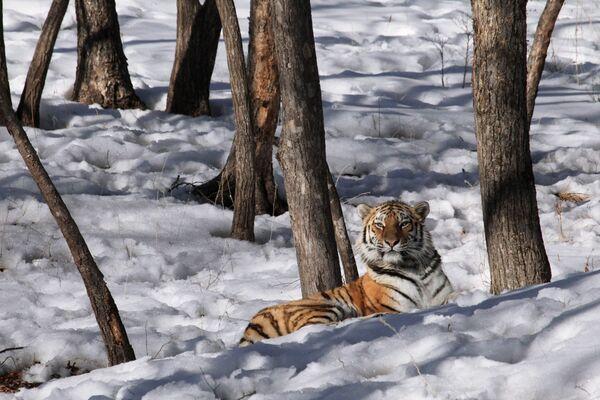 Tygrysica Tajga w Primorskim Safari Park - Sputnik Polska