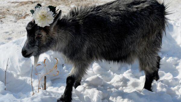 koza Mańka - Sputnik Polska