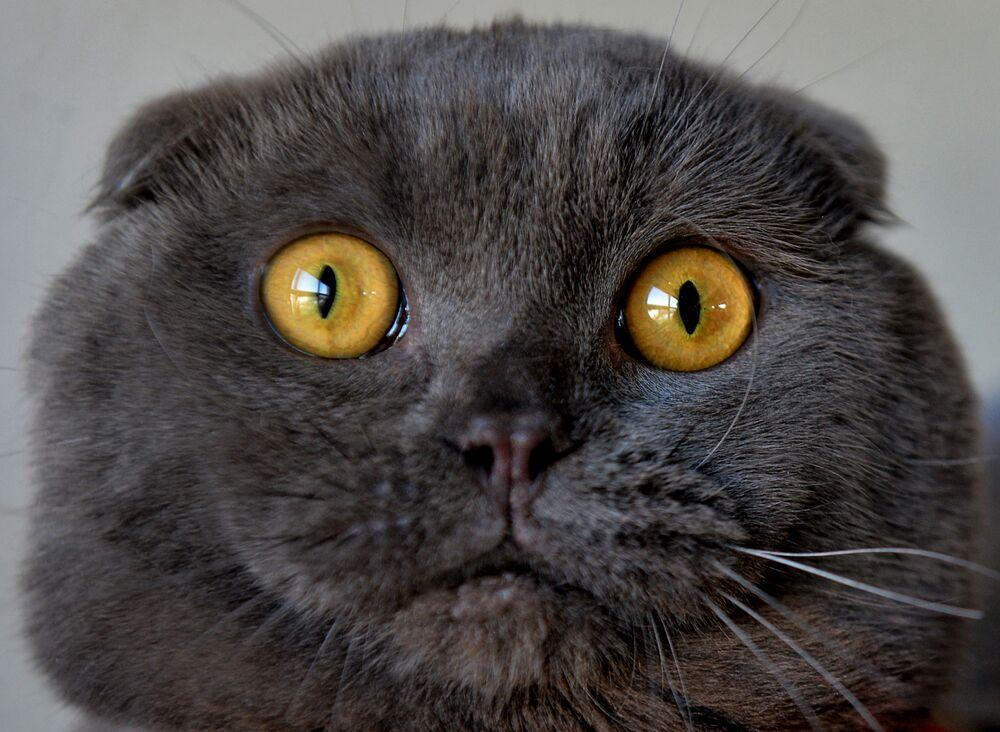 Szkocki zwisłouchy kot podczas wystawy kotów w Biszkeku