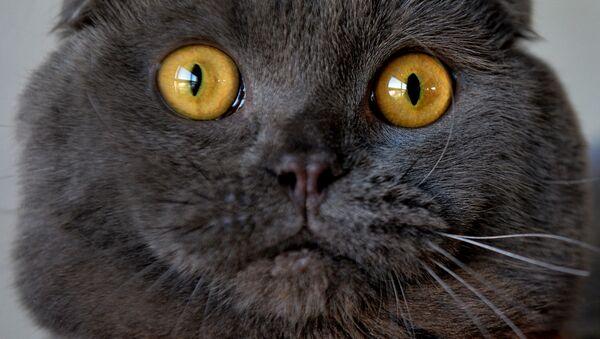 Szkocki zwisłouchy kot podczas wystawy kotów w Biszkeku - Sputnik Polska