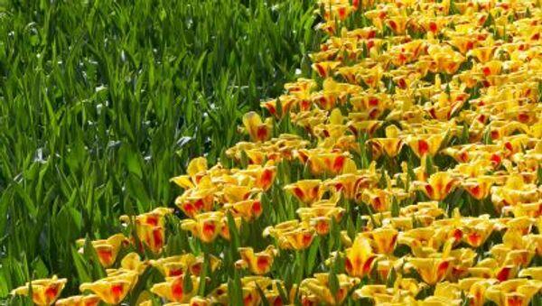 Тюльпаны в парке Кекенхоф в Нидерландах - Sputnik Polska